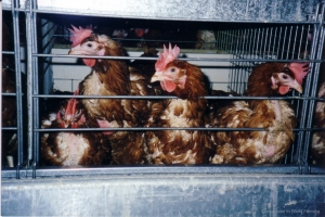 hens.jpg compassion