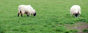 sheep (2)[6]