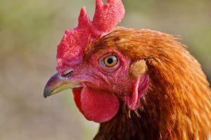 chicken-2789474_1920