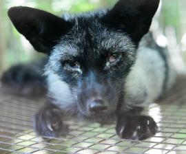 fur-fox-black-closeup