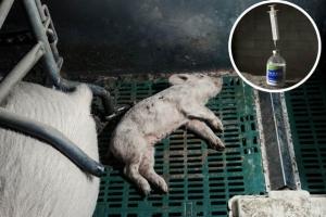 dead pigs on farm peta daily star