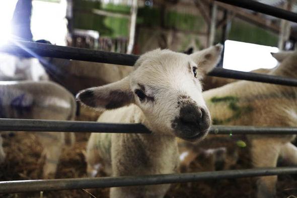lamb-793062