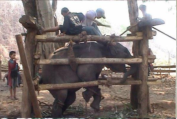 stae elephant website pic
