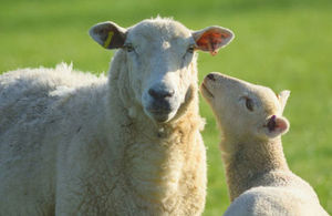 s300_sheep_for_exports_GOVUK