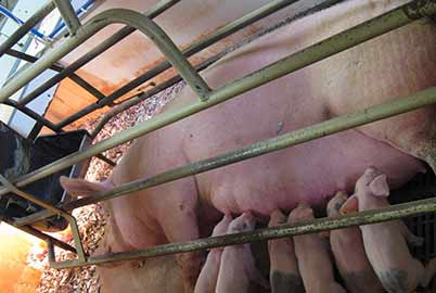 End Farrowing Crates